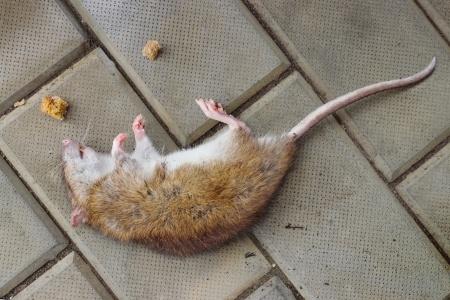 Cat Eats Poisoned Mouse