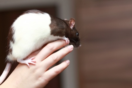 Can Pet Rats Live With Dogs