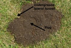 Trapping Pocket Gophers - How To Get Rid Of Them