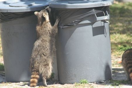 How To Trap Raccoons Garbage Can And Trash Protection