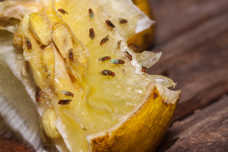 How To Kill Fruit Flies - Best Traps And Repellants