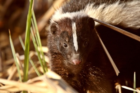 Trapping Skunks Best Way Without Getting Sprayed