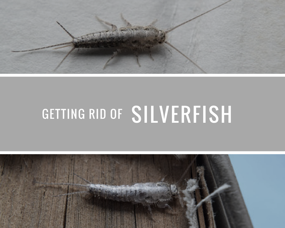 getting rid of silverfish the best way. Black Bedroom Furniture Sets. Home Design Ideas