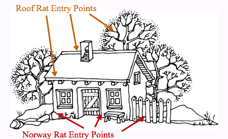 Facts About Rats Norway Rats Vs Roof Rats