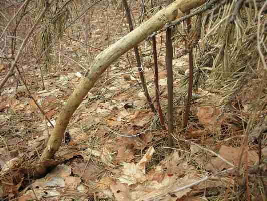 Setting A Rabbit Snare An Easy Rabbit Trap