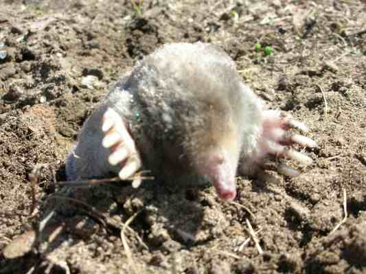 What Do Moles Eat Why Moles Are In Your Yard