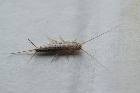 do silverfish bite pest control facts. Black Bedroom Furniture Sets. Home Design Ideas