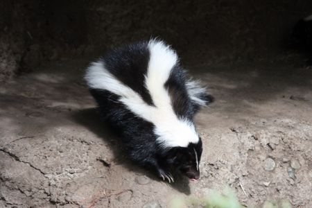 Trapping Skunks - Best Way Without Getting Sprayed